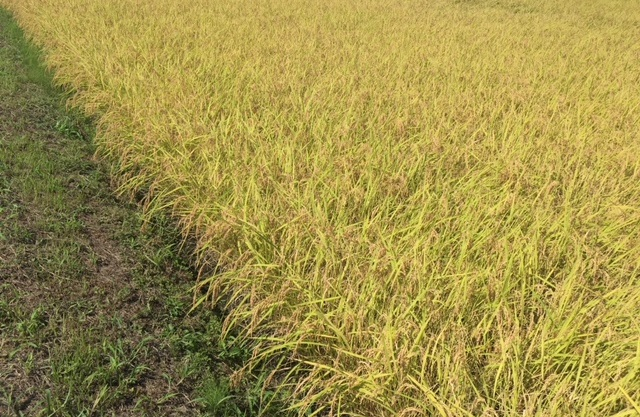 お米ってどの様につくる? 簡単な 1年間の米作りカレンダー
